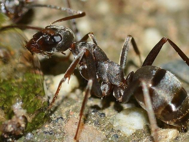 Эфиопские муравьи скоро захватят мир