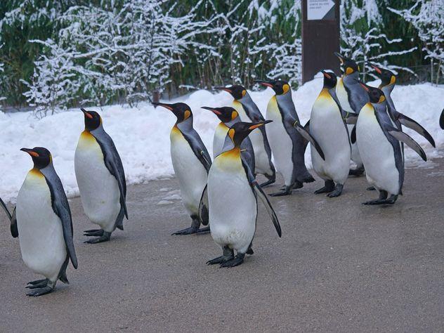 В Шотландии из-за гриппа  отменили парад пингвинов