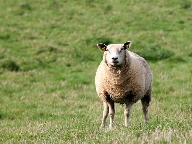 Напавшую на полицейского овцу объявили в розыск