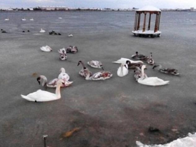 Стая лебедей вмерзла в озеро в Крыму