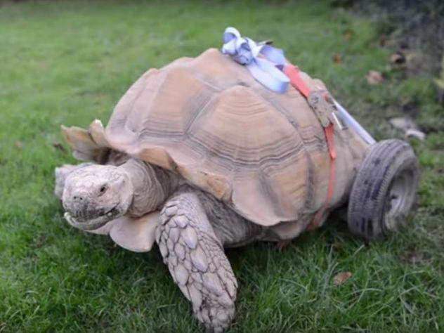 Черепаху-инвалида поставили на колеса в британском парке развлечений