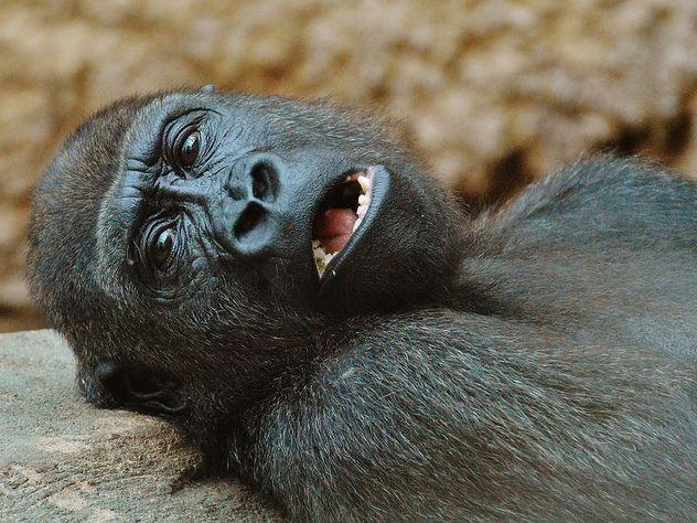 Старейшая горилла-рекордсмен неожиданно умерла в 60 лет