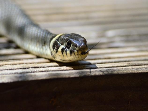 Заползшая в квартиру змея не на шутку перепугала пенсионерку