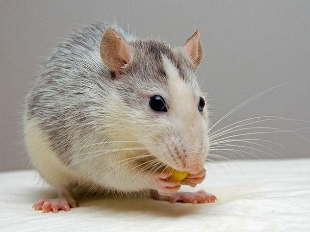 В Сети заступились за жестоко наказанного за воровство риса крысенка