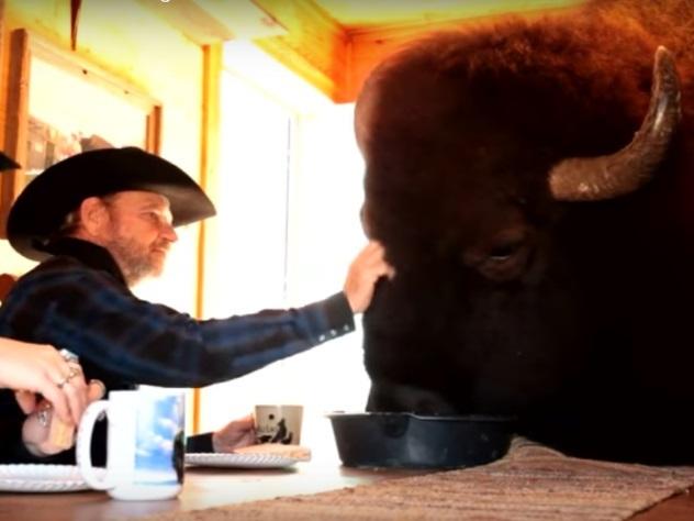 Огромного бизона превратили в домашнего питомца
