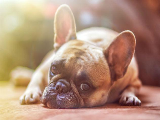 Ученые: собаки заставляют людей понимать свой язык