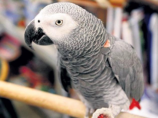 Попугай дал показания против убийцы хозяина