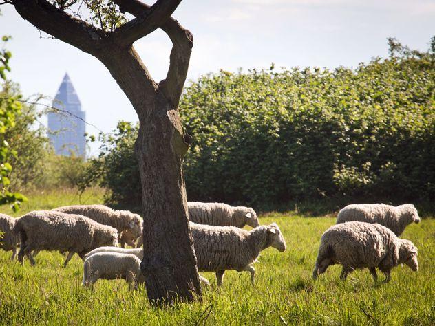 Собаку отдали под суд за стресс у овец, приведший к гибели части стада