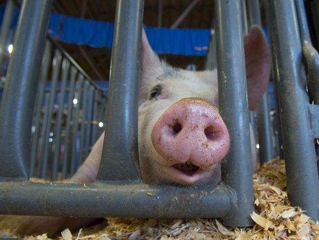 200 свиней сбежало из грузового автомобиля  воФранции