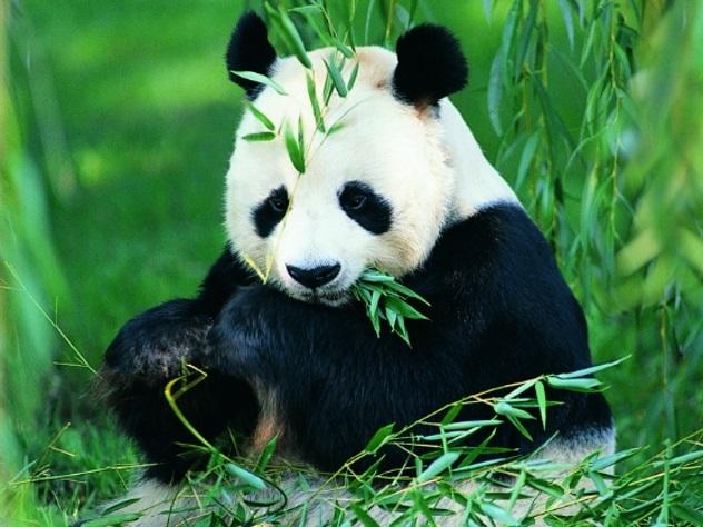 Большие панды закончили быть вымирающим видом