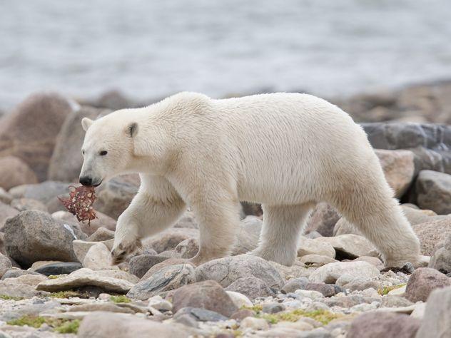 Заголосованием в Государственную думу наострове Белый «наблюдали» 15 медведей