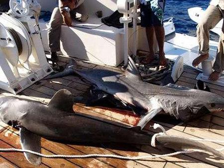 Акулы-людоеды терроризируют Египет.