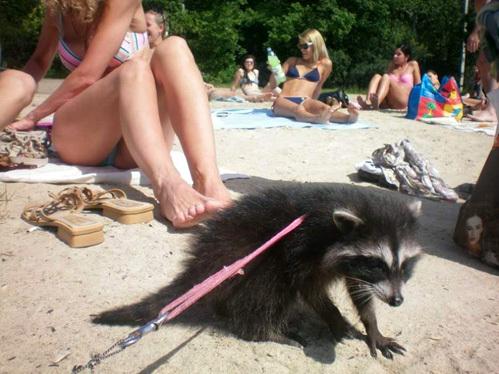 Енотиха среди отдыхающих на пляже летом этого года. Хозяин загорал, а его любимица изучала отдыхающих рядом с ним людей