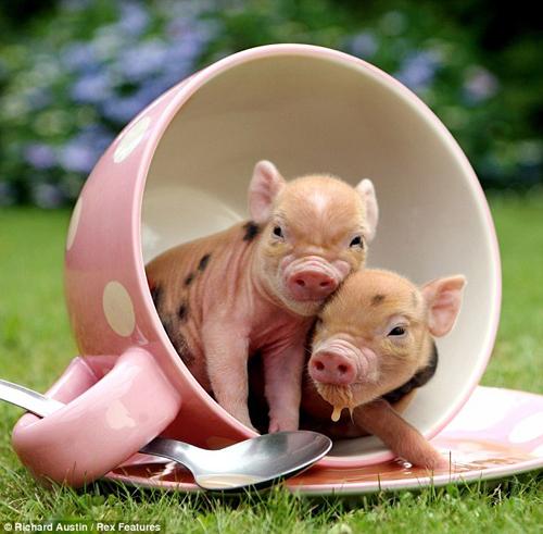 Новорожденные минипиги снялись в гламурной фотосессии