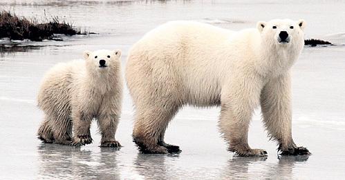 В Арктике почти не осталось медведей-самцов