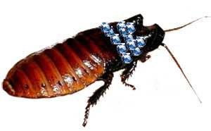 Мадагаскарский таракан в виде броши.