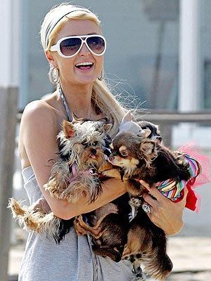 По словам Пэрис, поросёнок мирно уживается со всеми её  собачками