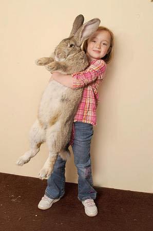 Рост чудо-кролика - 130 см, а вес - 22 килограмма!