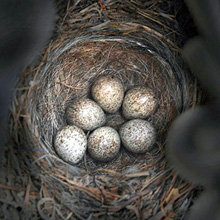 Я читал, что на Востоке, если птица свила гнездо в арбе, её