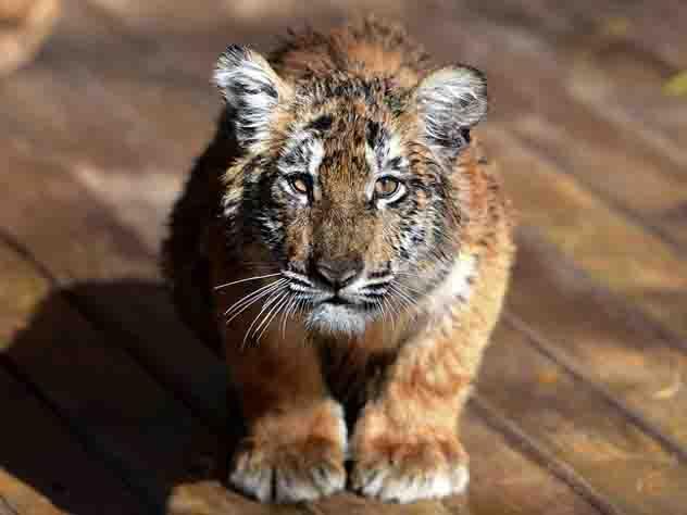 париже застрелен сбежавший цирка тигр