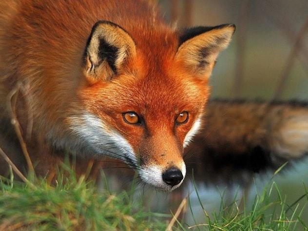 В столичный детский сад проникла агрессивная лиса