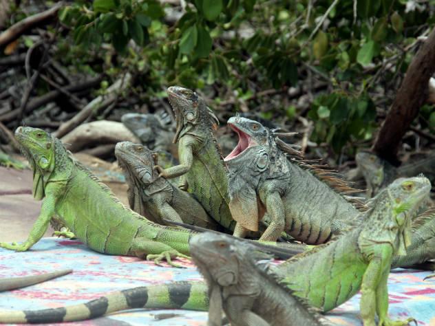 Игуанопад начался во Флориде из-за экстремального похолодания