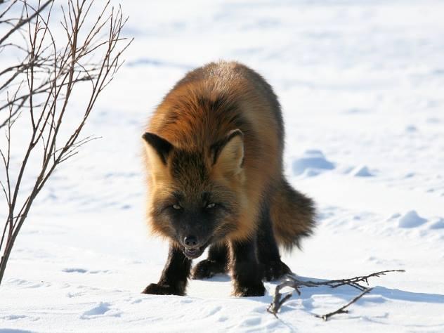 Экологи призвали не кормить лис в жилых кварталах Москвы