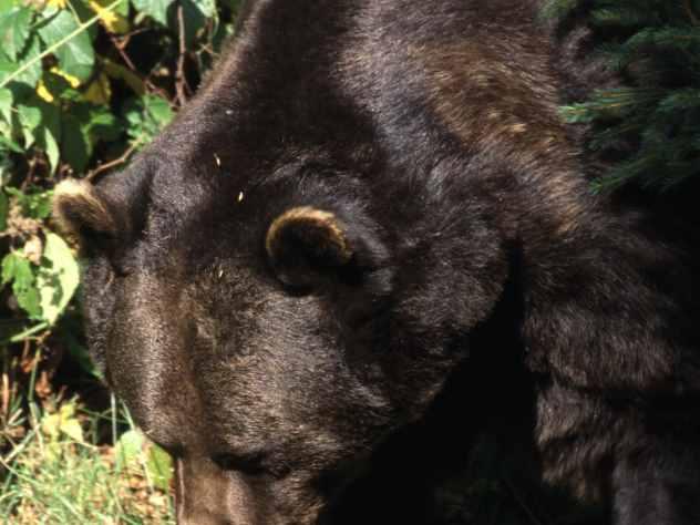 Охотники застрелили пришедшего в Югорск медведя-шатуна