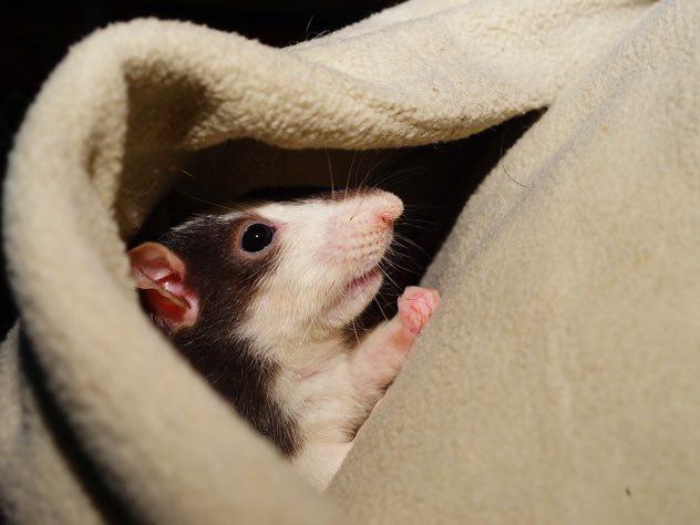 Жителей Вологды одолели крысы и клопы