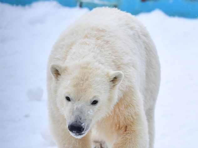 В зоопарке Перми умерла старейшая в России белая медведица