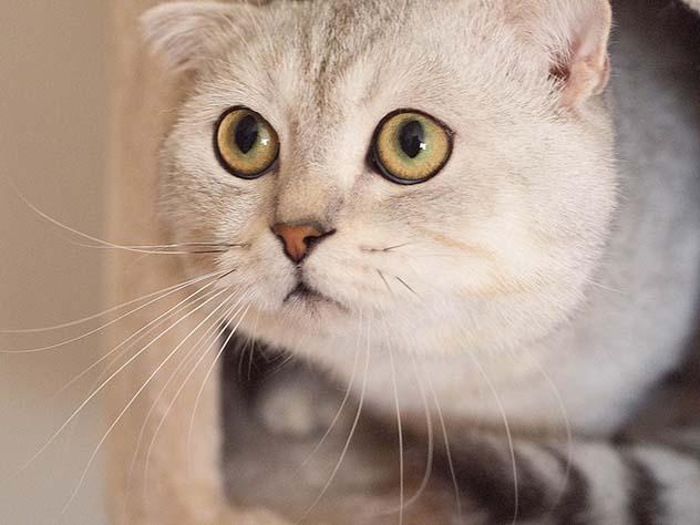 сирийская порода кошек