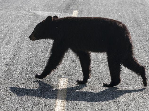 В Колорадо мать вырвала дочь из лап медведя
