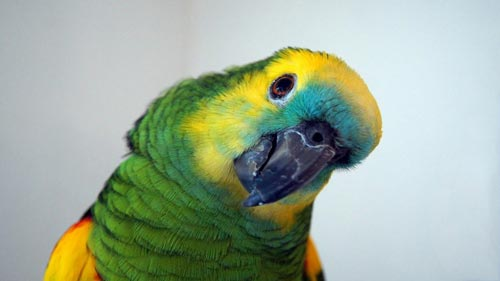 Попугай. Источник: .com