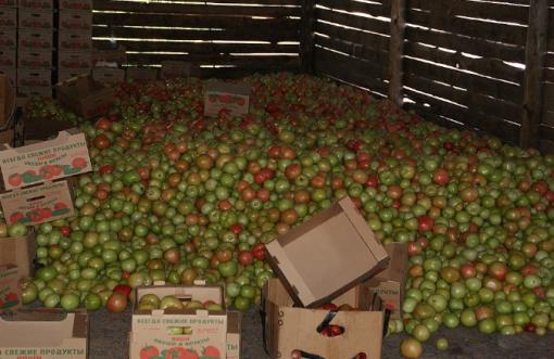 К концу сезона урожай часто собирают еще зеленым и дают ему доспеть в складах. К тому же выспевший томат трудно довезти до столичного рынка.